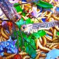 Salade acrididae tenibrio molito &